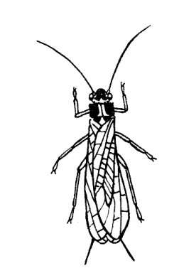 21_plecoptera.jpg