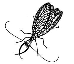 45_megaloptera.jpg