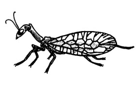 46_raphidioptera.jpg
