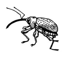 48_coleoptera.jpg