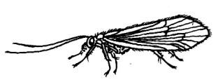64_trichoptera.jpg