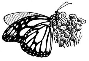 65_lepidoptera.jpg